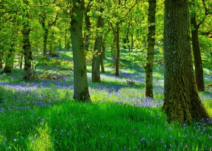 Where to see spectacular displays of spring bluebells